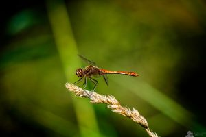 Red Dragon fly by LeWelsch