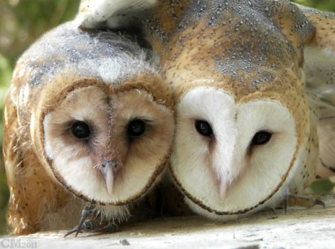 Barn Owl Siblings by Ciameth