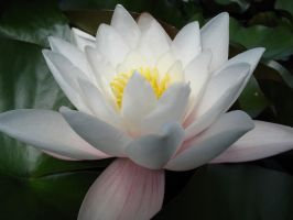 Water Lily - Stock - 2 by lassekongo-stock