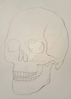 Skull Study 3/4 View: Contour Drawing by GlennThomasi6