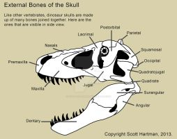 Bones of the theropod skull by ScottHartman