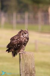 IMG_3872 - Eagle owl by 0paperwings0
