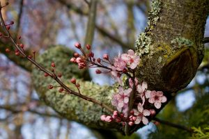 Cherry Tree by falcona