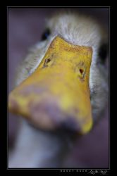 Nosey Duck by avotius