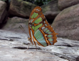 Niagara Butterfly House - Malachite Butterfly by Ammoniite