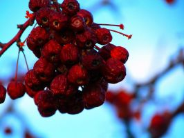 blood berries by XJoshIsOnFireX