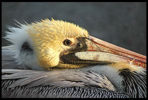 Brown Pelican by rgphoto777