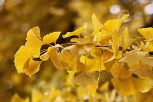 Gingko in the park by organicvision