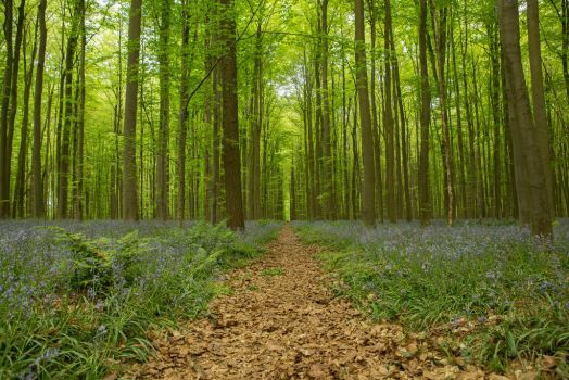 Blue Forest Hallerbos 014 by ISOStock