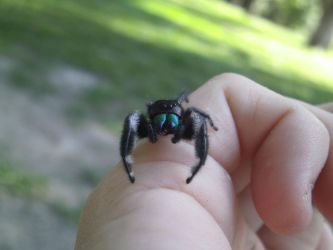 Jumping Spider by Bugs-R-Us