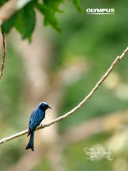 P4220634_Bronzed Drongo by jitspics