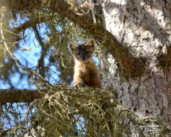 American marten in fir tree 4 by themanitou