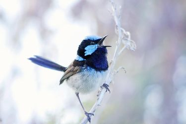 Blue Wren singing by Whimsical-Dreams