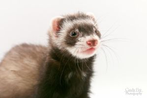 Ferret by lost-nomad07
