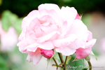 Flowers | Rose | I by Wings-Photo