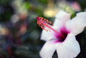 rose of Sharon by 1Honey1