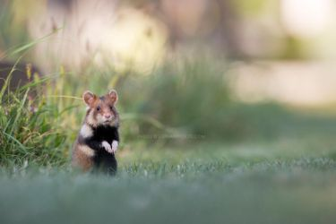 Fairytale Hamster by StephiPhotography
