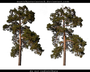 Pine tree Cut out by ManicHysteriaStock