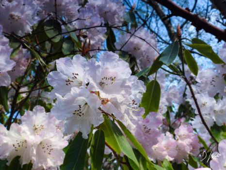 Rhododendrons by domwlive