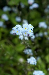 Forget-me-not by Ideas-in-the-sky