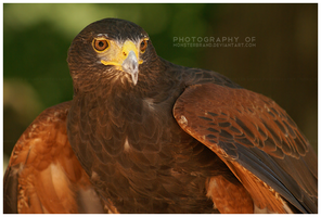 Day 125 - Harris Hawk by MonsterBrand