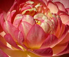 Pink Petals by Michies-Photographyy