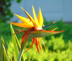 Bird of Paradise (1) by knighttemplar1