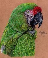 Military Macaw by KristynJanelle