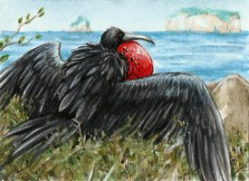 Frigate Bird by SilentRavyn