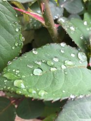 Rose Leaf Droplets 3 by Torrentially