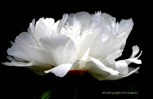 White Peony by GeaAusten