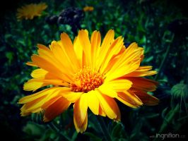 Summer Flower 2012 - 8 by Ingnition