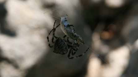 Spider tying up a beetle 2 by callegg