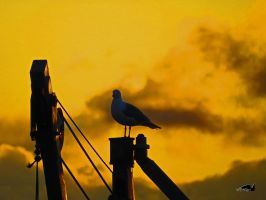 Sunset Seagull Foreman by wolfwings1