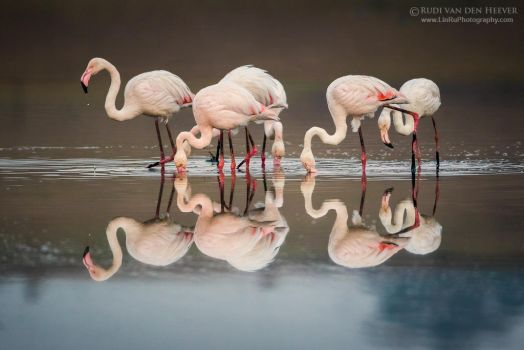 Twelve Feeding Flamingos by RudiVanDenHeever