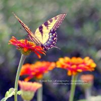 schmetterling by JeanFan