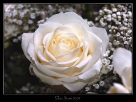 White rose by Heremod