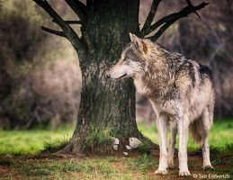 wolf hdr by Yair-Leibovich