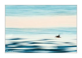 Panning Willet by cedrus