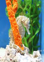 Seahorse by Valkyyrii