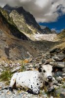 A Cow by the Glacier by Glazier213