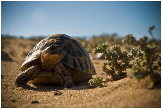 Desert turtle by SantiBilly