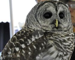 Barred Owl by EllaJPhotography