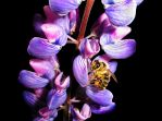 Bee on lupin by Randal01