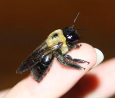 Carpenter Bee Stock 5 of 6 by Lovely-DreamCatcher