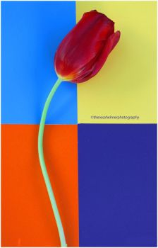 A Red Tulip by theresahelmer
