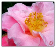 Pink Camellia by bitair