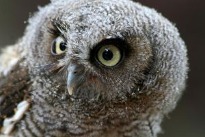 Young Screech Owl 2 by Tinap