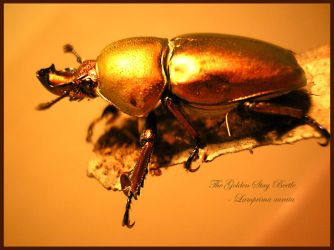 The Golden Stag Beetle by Neecho
