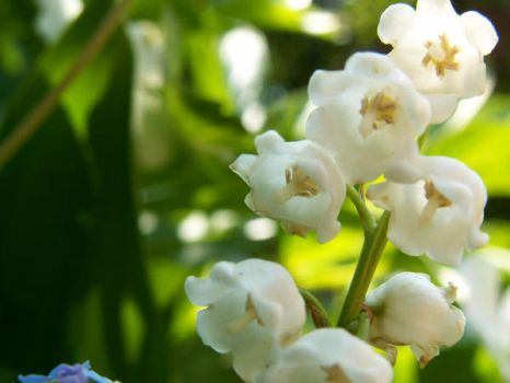 :Lily of the Valley:2 by AreusT